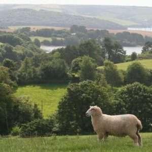 sheep-Salcombe