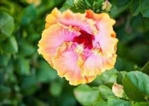 hibiscus flowers growing on shrub