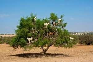 Morocco-goats in argan tree