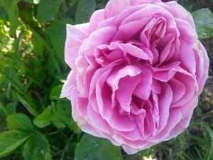 DewLock rose petal extract